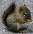 baby-grey-squirrel