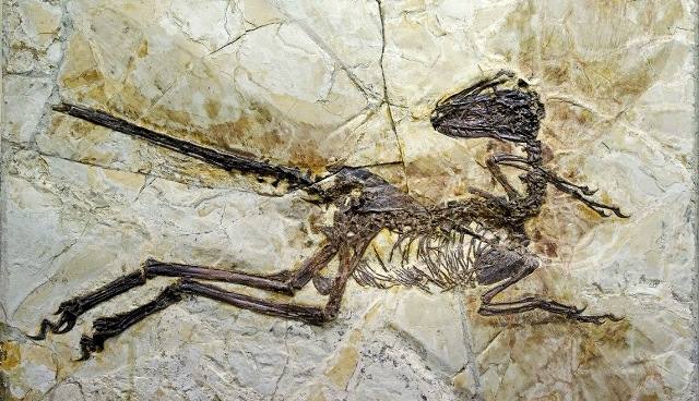 fossilized-dinosaur-with-feathered-wings