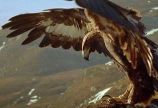golden_eagle_wingspan-sml