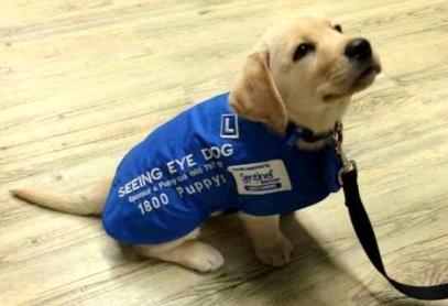 seeing-eye-dog-in-training