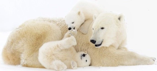 polar-bear-mom-and-cubs