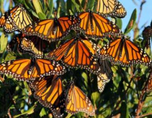 western-monarch-butterflies-dale-gerhard-natgeo