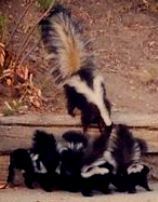 mama-skunk-and-babies
