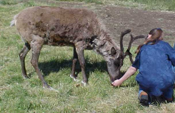 Hand feeding caribou in Alaska